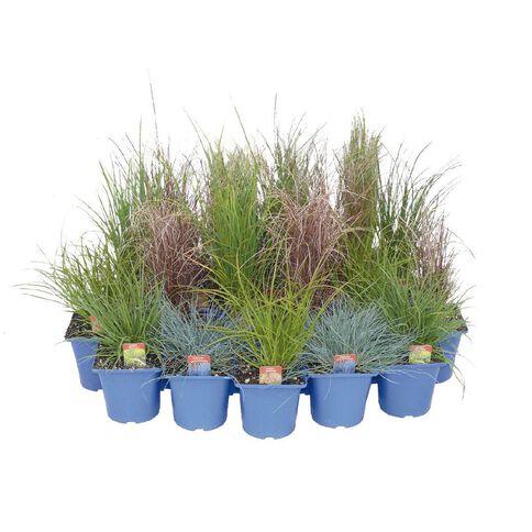 Landscape Grass Carex Comans Green 10cm Pot
