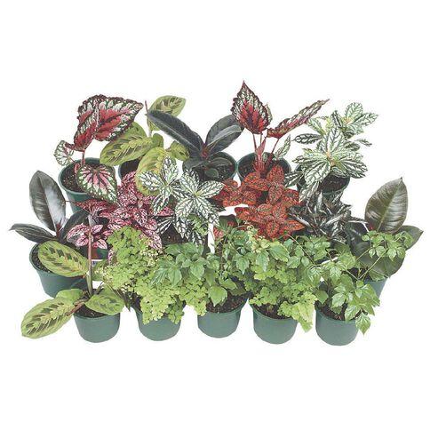 Indoor Wee Cuties Baby Houseplant