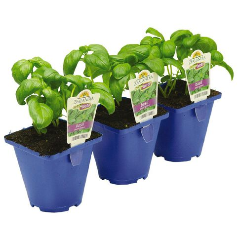 Growherbs Basil Sweet Green 10cm Pot