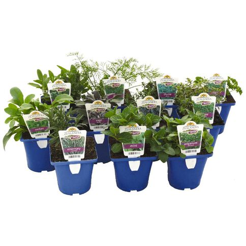 Growherbs Parsley 10cm Pot