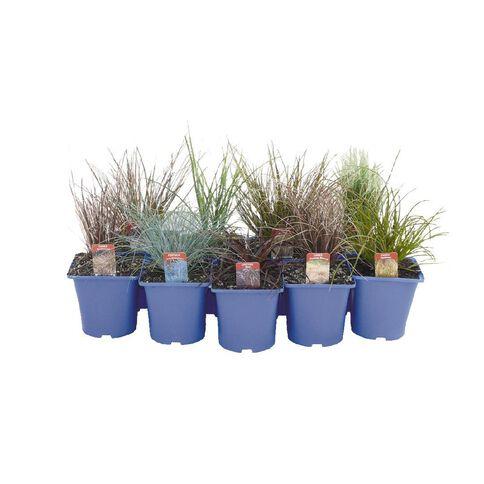 Landscape Grass Carex Testacea 10cm Pot