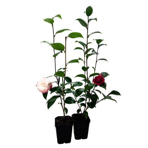Camellia 12cm Pot