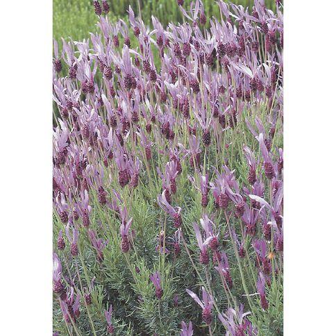 Lavender 13cm Pot