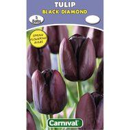 Carnival Tulip Bulb Black Diamond 5 Pack