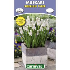 Carnival Muscari Bulb Siberian Tiger 5 Pack