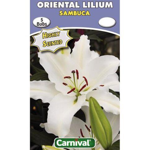 Carnival Oriental Lilium Bulb Sambuca 3 Pack