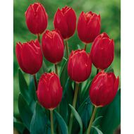 Carnival Tulip Bulb Super Red 20 Pack