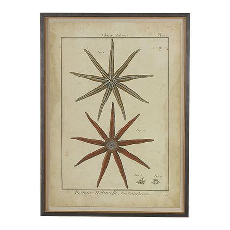 Antique Starfish Study ,  , large