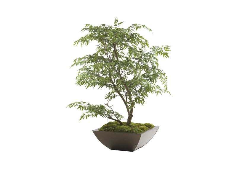 Ming Aralia Tabletop Tree ,  , large_gray