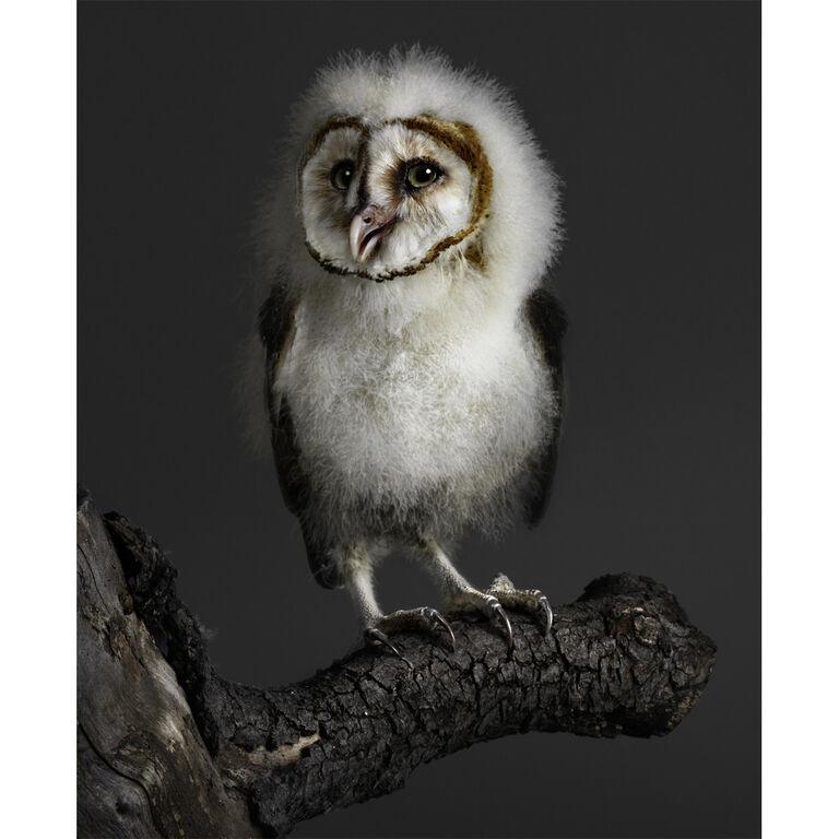 Peter Samuels Quot Banchi Quot Baby Barn Owl Modern Art